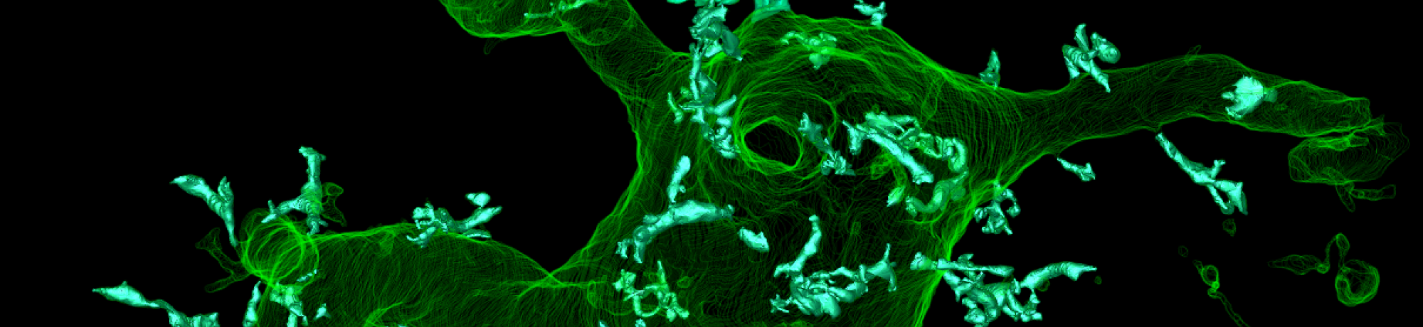 Supporting brain cell stained green
